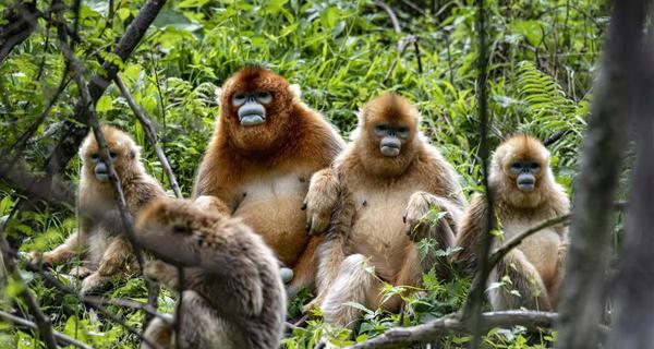 Golden monkeys seen in Shennongjia National Park