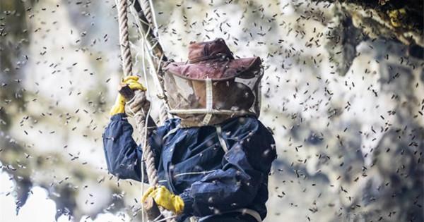 Honey hunter risks life on cliff