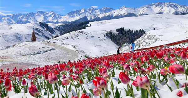 Tulips blooming in snow at Jiangbulake scenery spot in NW China
