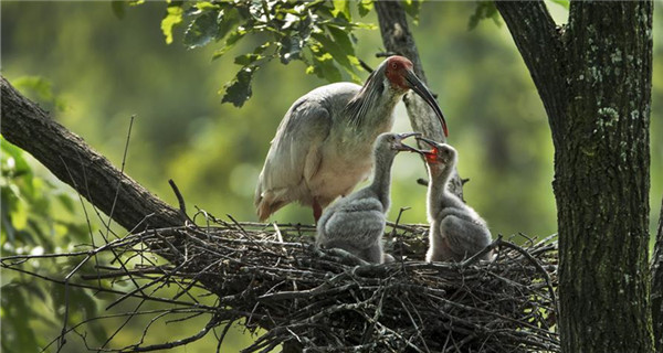 Crested ibis takes care of nestlings