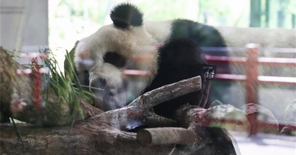 Chinese pandas become superstar during first-year