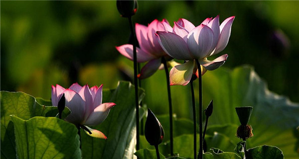Lotus flowers set a lovely summer scene in Huangshan