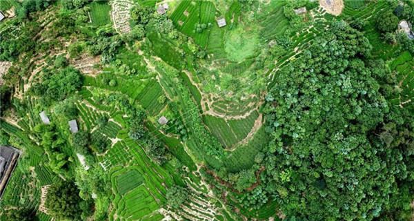 Aerial view of tea plantation in Ningde
