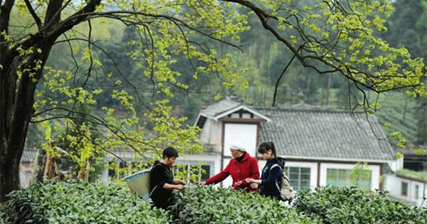 Tea cultivation brews rich lives for villagers
