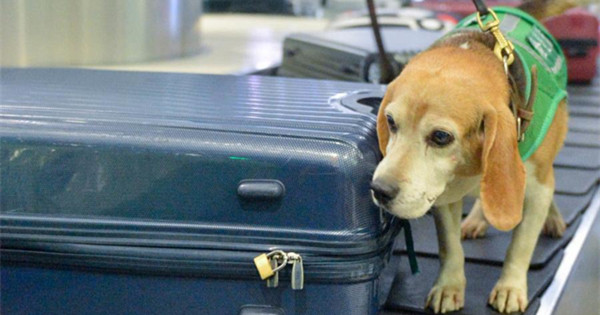 Sniffer dogs help with airport quarantine tasks