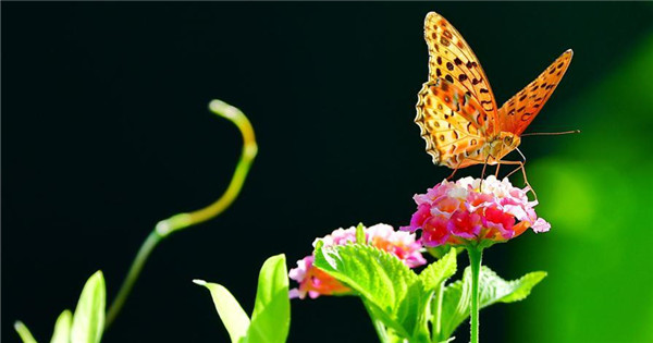 Butterflies and lantana camara flower at Wenquan Park in Fuzhou