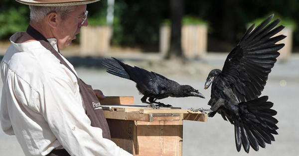 Crows trained to pick up litter at French park