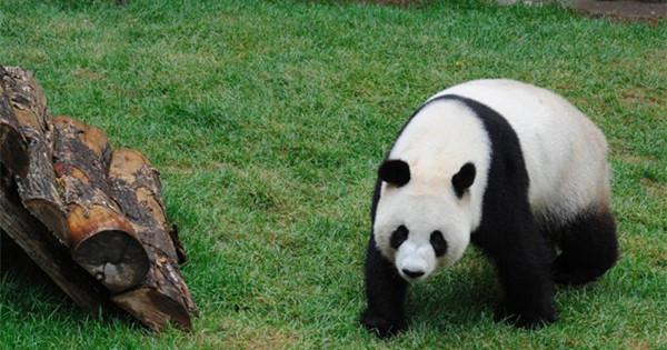 Two giant pandas end high-altitude habitat research
