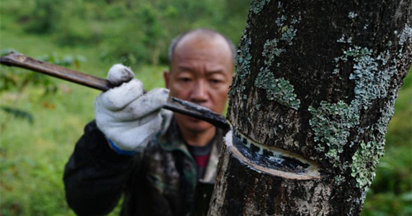 Ancient craft of lacquer-reaping still an income source in Guizhou