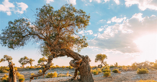Euphrates poplar trees create golden oasis