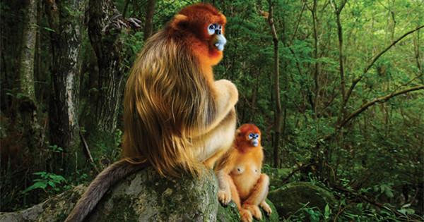 Award-winning picture raises profile of endangered Chinese monkey