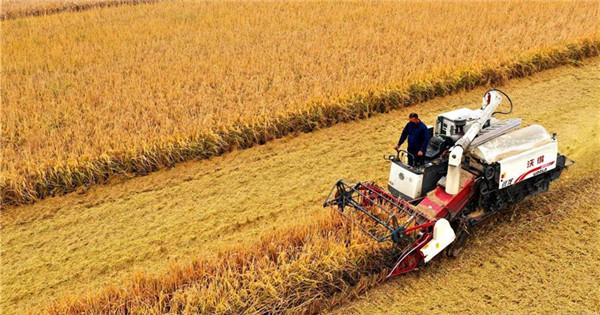 Rice enters harvest season across China