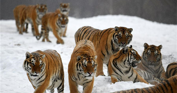 Siberian tigers play at China Hengdaohezi Feline Breeding Center