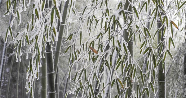 Scenery of bamboo forest after snowfall in Anhui