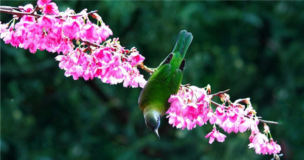 Leafbird gathers honey from cherry flowers in Fuzhou