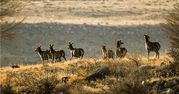 Red deer population growing in Ningxia