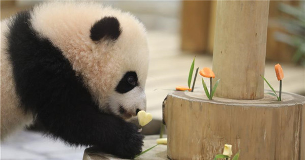 Giant pandas greet audience in Shirahama, Japan