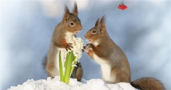 Red squirrels featured in Valentine's Day photo creation
