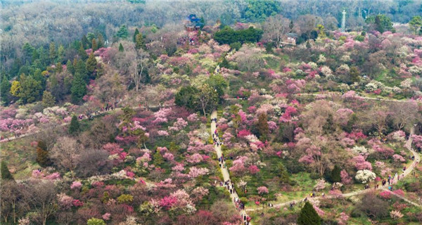 Sea of plum blossom in in East China