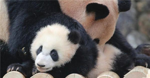 Baby panda Saihin makes public debut in Japan