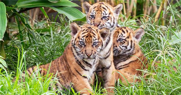 Three rare Sumatran tiger cubs debut at Taronga Zoo
