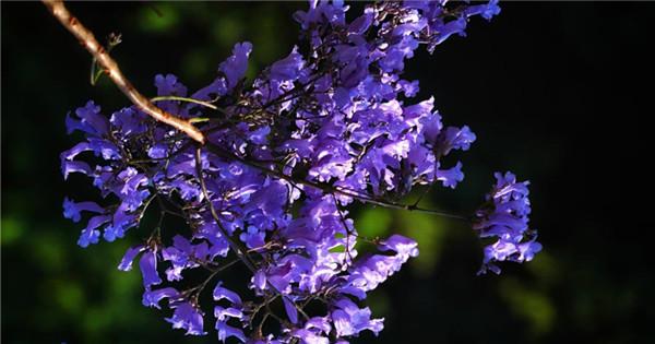 Breathtaking purple jacaranda in SW China's Yunnan