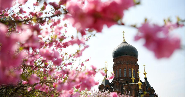 Flowers bloom against backdrop of St. Sophia Cathedral in Harbin