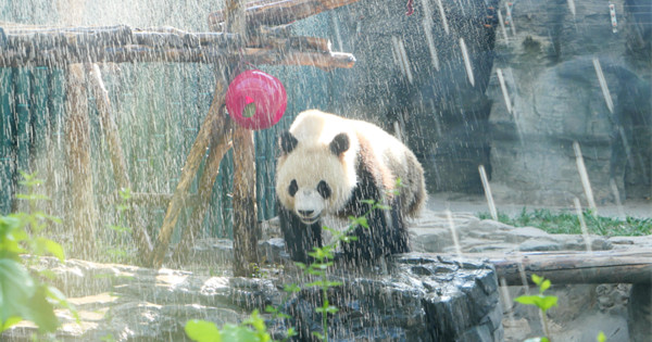Panda takes cold shower to beat the heat in Beijing