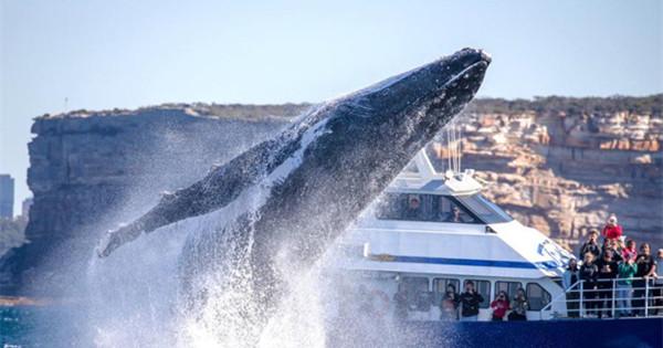 Enormous humpback whale leaps at Sydney Harbour Bridge