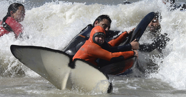Rescuers save 6 orcas from Argentine beach