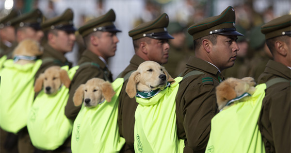Adorable police puppies take part in military parade in Santiago