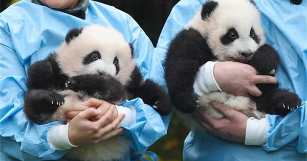 Giant panda twins of 'Bao Mei', 'Bao Di' at Pairi Daiza zoo in Belgium