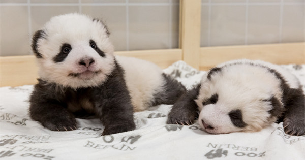 Zoo Berlin nominated for Giant Panda Global Awards