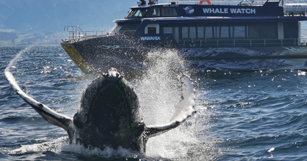 Tourist captures magic moment of whale performing in front of boat
