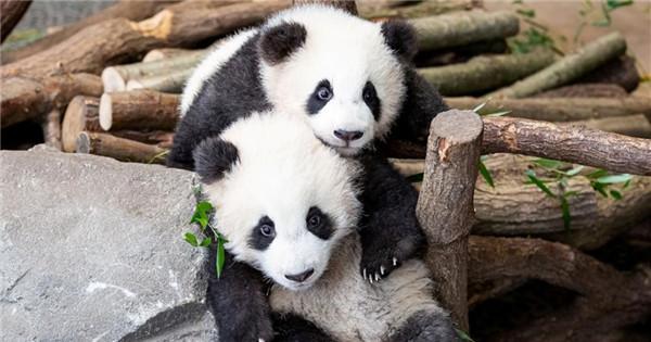 Handout photo shows twin panda cubs in Berlin Zoo
