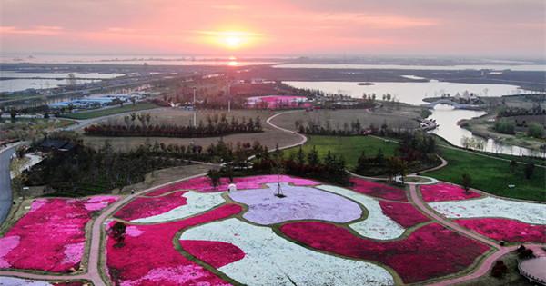 Beautiful creeping phlox blossoms in Jiangsu