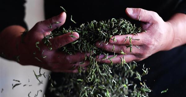 Black tea of Wuyishan enters harvest season