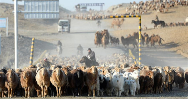 Herdsmen in Xinjiang transfer livestock to spring pastures as spring comes