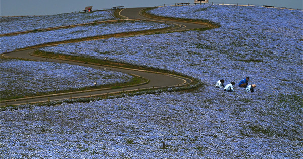 Nemophila flowers bloom at Japan's Hitachi Seaside Park