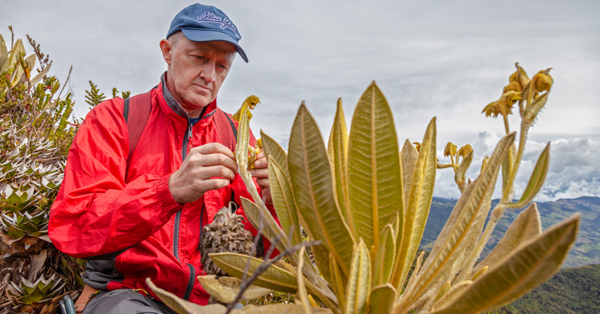 New species of frailejon discovered in Colombia