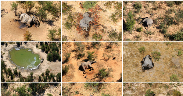 Hundreds of elephants die in Botswana in three months