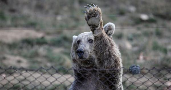 Bears receive nutrition programs ahead of hibernation in Turkey