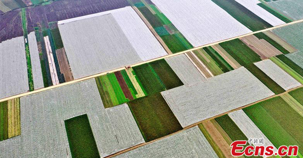 Large vegetable base reaps bumper harvest in Sichuan
