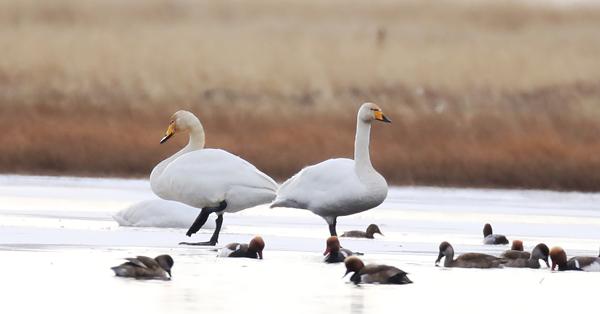 Migratory whooper swans winter in Sichuan