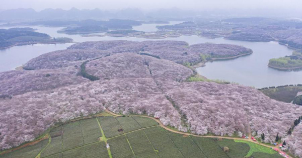 Embrace spring with cherry blossoms in Guizhou