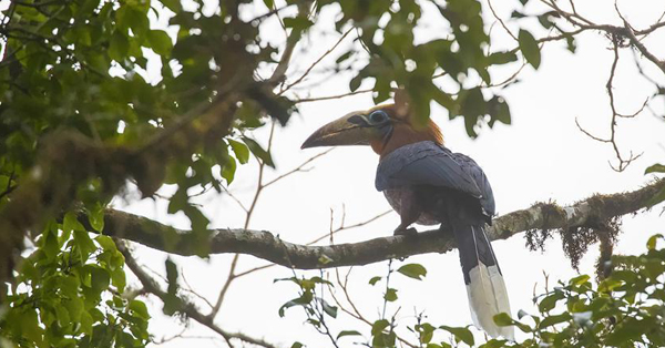 Rare hornbills spotted in southwest China