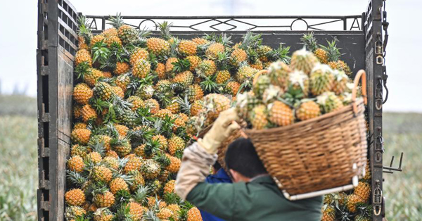 Guangdong enters pineapple harvest season