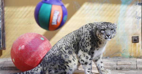Qinghai-Tibet Plateau Wild Zoo provides toys for animals