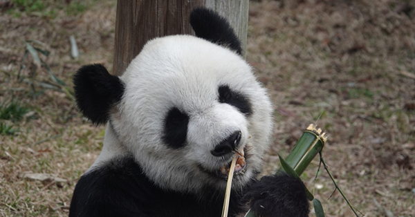 Giant pandas chew bamboo at the Memphis Zoo