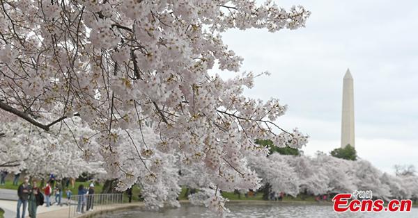 Cherry blossom season arrives in Washington D.C.